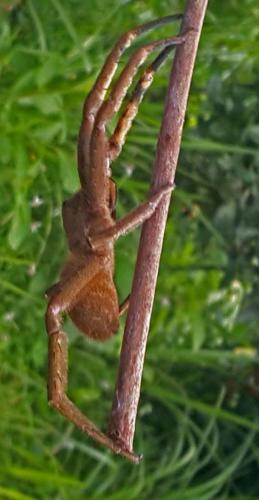 spiderhuge